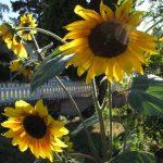 Reema snaps a shot of sunflowers in bloom by the sidewalk in Kamloops, BC - © ReemaFaris.com