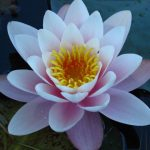 Reema's beautiful shot of a water lily serenely floating in a Vatican Garden pond - © ReemaFaris.com