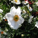Reema's picture is of a delicately beautiful white bloom in a Victoria garden - © ReemaFaris.com
