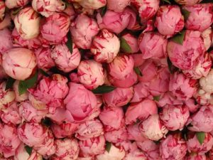 Reema's close up of vibrant pink flowers for sale at a street market in Paris - © ReemaFaris.com